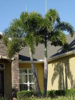 Double Foxtail Palm