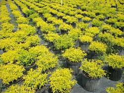 Gold Mound Duranta