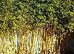Golden Goddess Bamboo