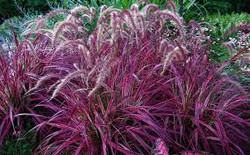 Red Fountain Grass