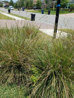 dwarf fathatchee grass 4-18