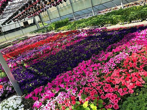 Flower Flat - Petunia