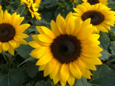 "9"" Sunflower"
