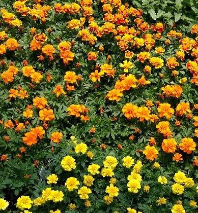 Flower Flat - Marigold