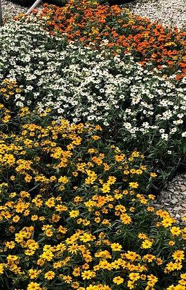 Flower Flat - Zinnia