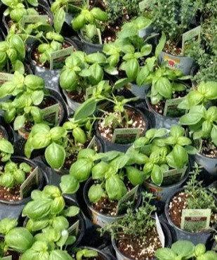 Garden Herb Plant Packs