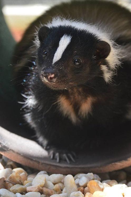 Adopt a Skunk
