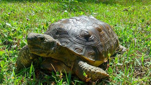 Adopt a Gopher Tortoise