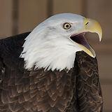 Eagle 014.jpg