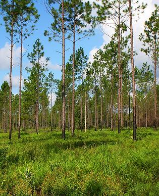Wet Pine Flatwoods 2-edit.jpg