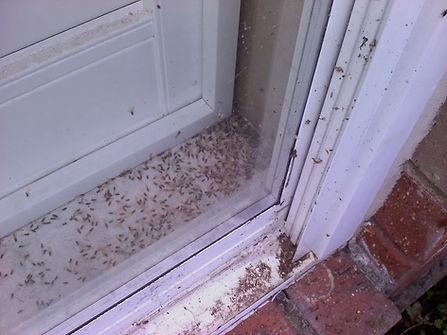 Termite swarmers.jpg