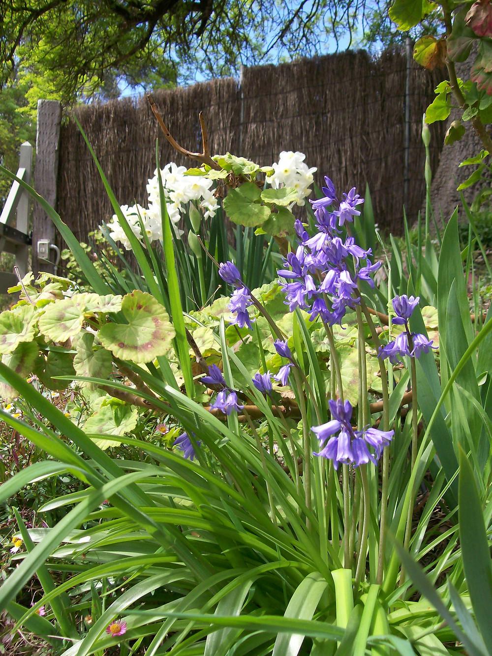 spring bluebells.jpg