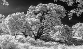 Infrared Oak - San Rafael California