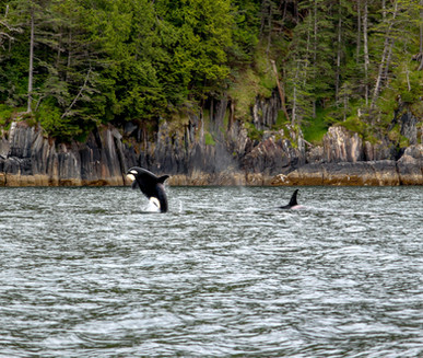 Victory Cove Orca Whale