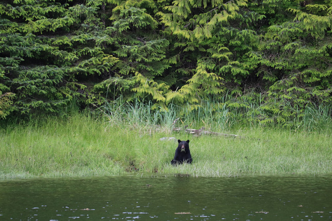 Victory Cove Black Bear