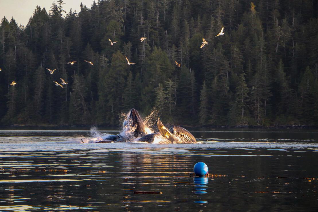 Victory Cove Humpback Whales