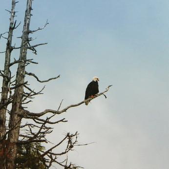 Victory Cove bald eagle