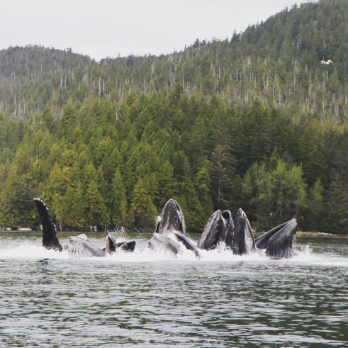 Victory Cove Humpback Whales