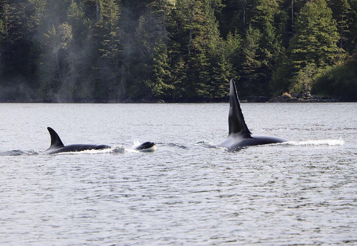 Victory Cove Orcas