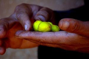 hands_agriculture_argan_argan_seeds_eart