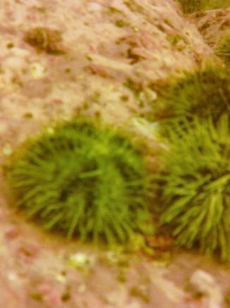 Portuguese Cove Sea Urchins
