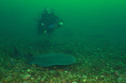 Atlantic with Torpedo Ray
