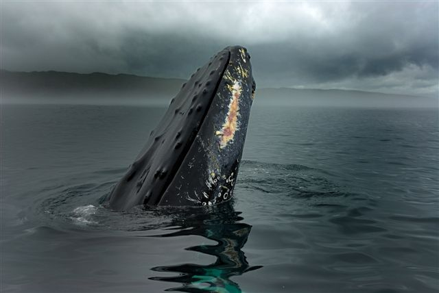 whale breach of newfoundland