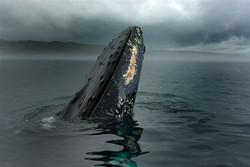 whale breach of newfoundland