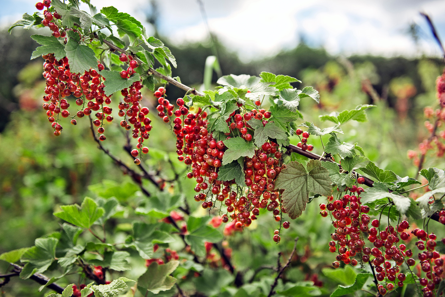 chr. H. Jordbær-83.jpg