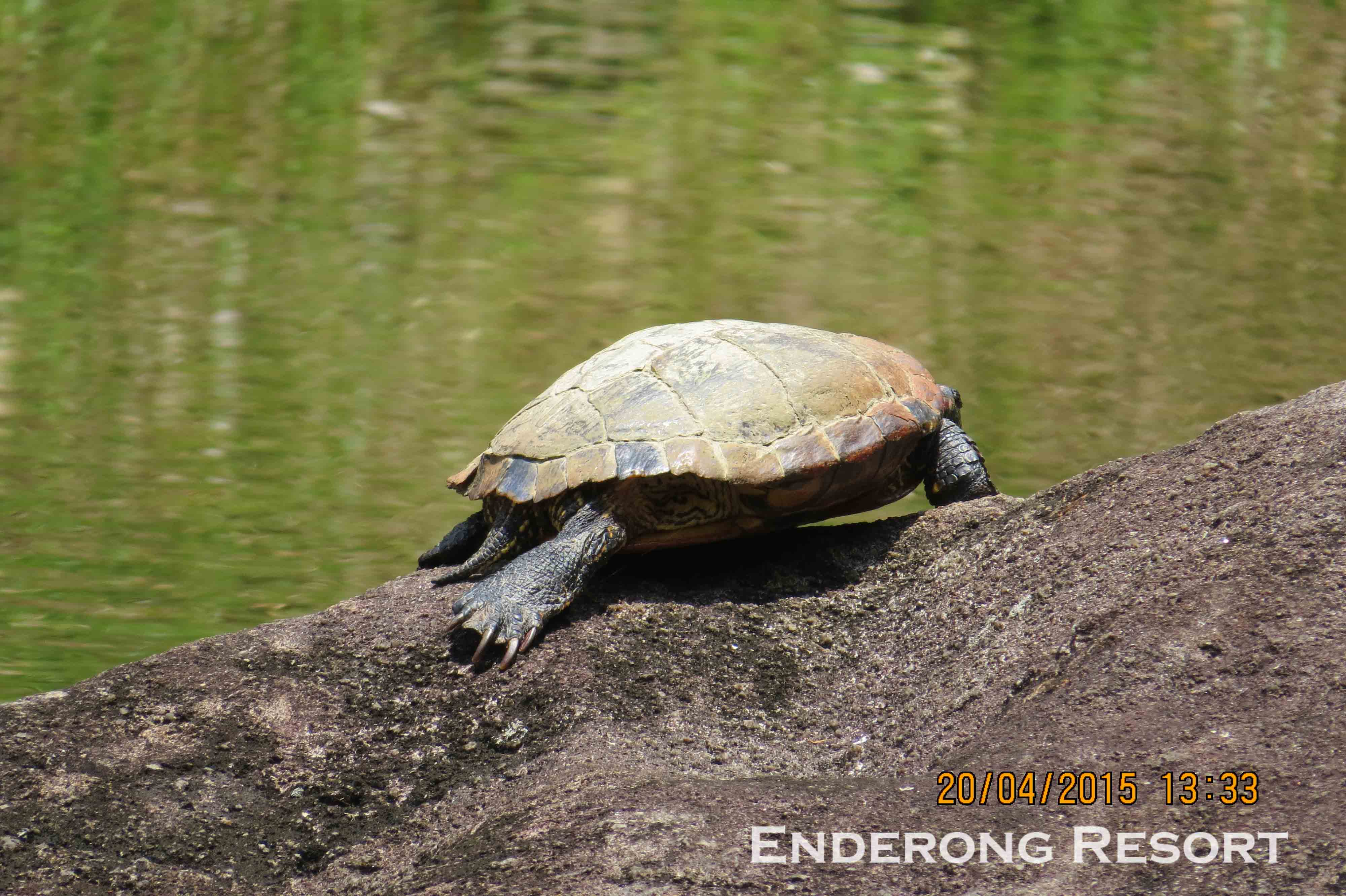 Red-eared Terrapin