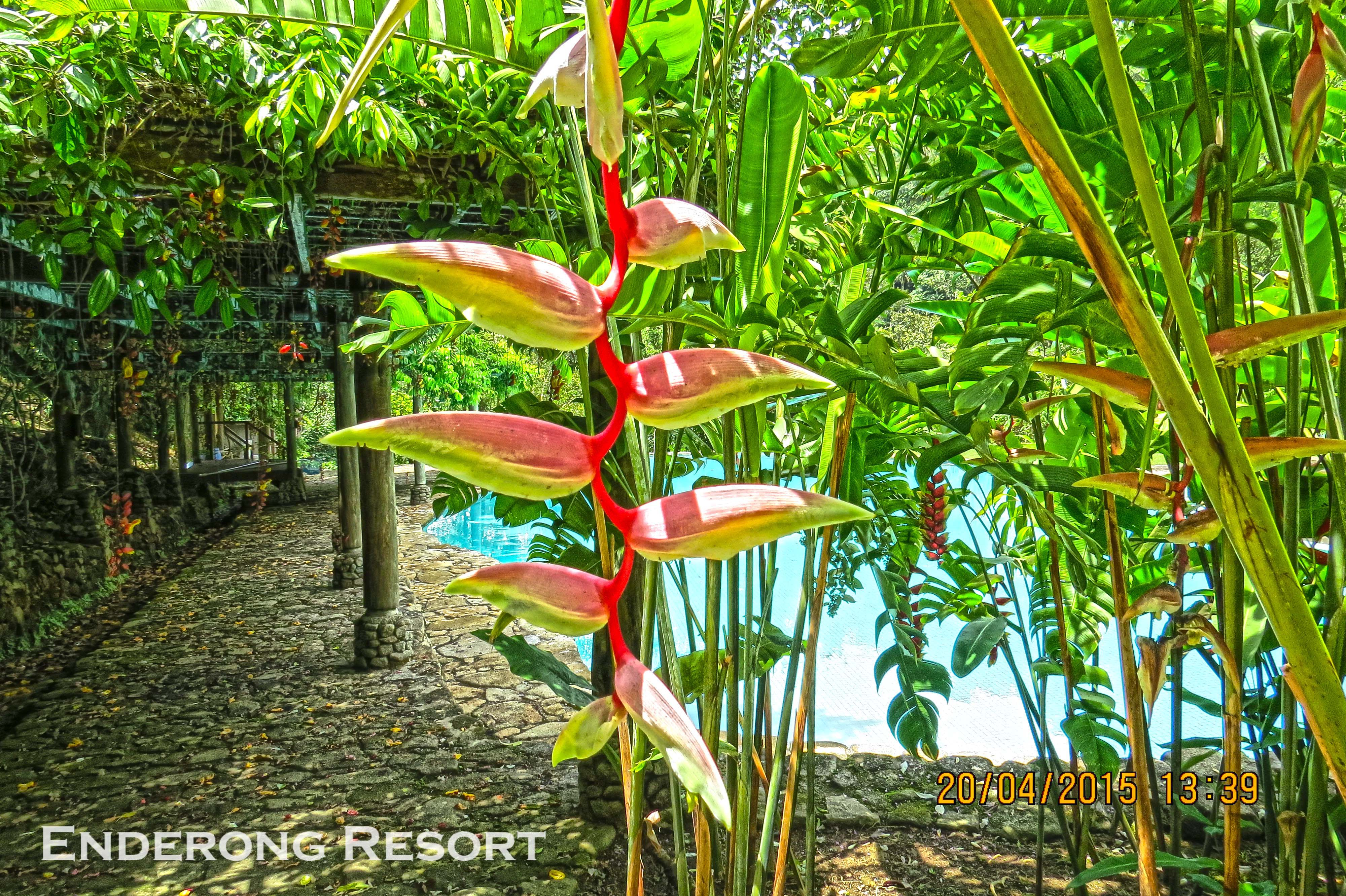 Heliconia Rostrataedit.jpg