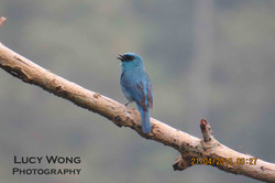 Blue Flycatcher