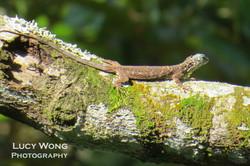 Draco a.k.a Flying dragon/lizard