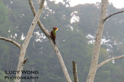 Crimson-winger Woodpecker