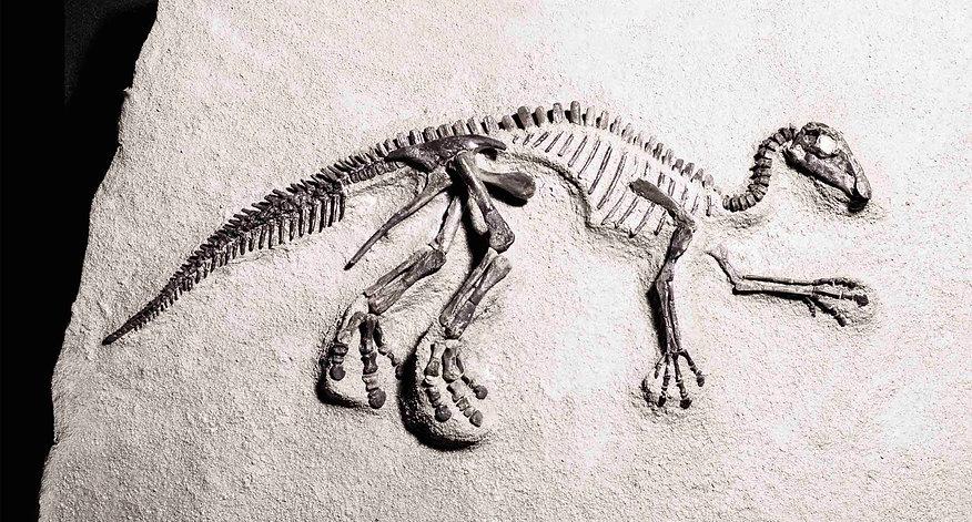 Maiasaurus Dinosaur Granada Gallery Dinosaur