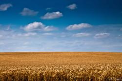 Wheat Field Outside Seiling, OK