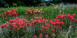 Indian Paintbrush flowers
