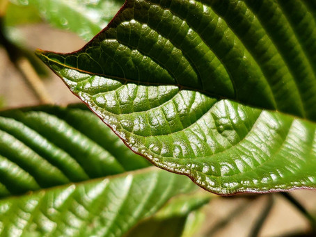 Growing Mitragyna Speciosa and the Hydra Effect