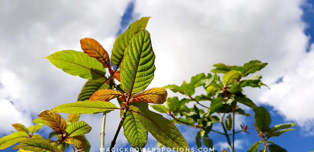 Cold tolerant kratom currently in development at Magick Powers Potions