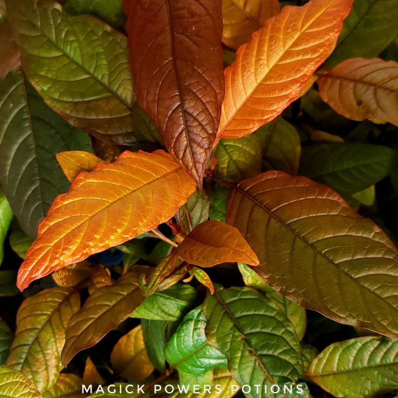 This orange kratom plant was once dark green with red veins.