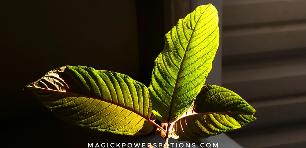 These glowing green and olive leaves throb with a thick ruby red vein, catching the light like a fine glass sculpture.