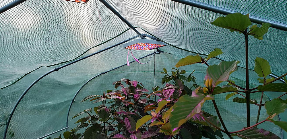 The kratom trees that aren't outside receive filtered sunlight through the greenhouse cover in a normal day/night cycle with supplemental targeted frequency lamps on 24/7/365