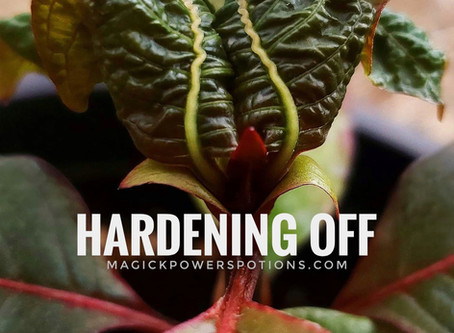 Hardening Off Kratom Seedlings