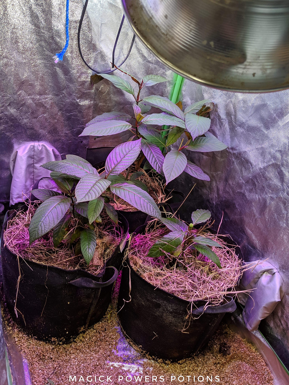 Happy in their new home: the three kratom trees have acclimated to their new surroundings.