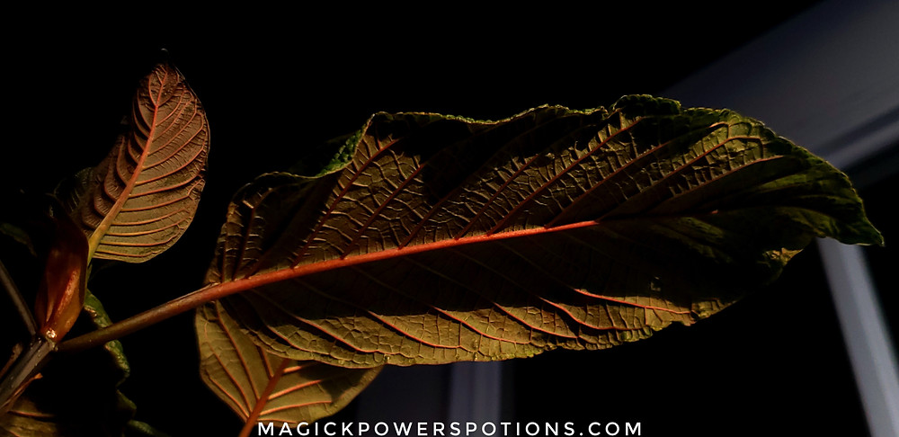 A thick dark kratom leaf with pronounced ridging and immense red vein thrusts forth from the shadows, catching the last glimmers of sinking sunlight.