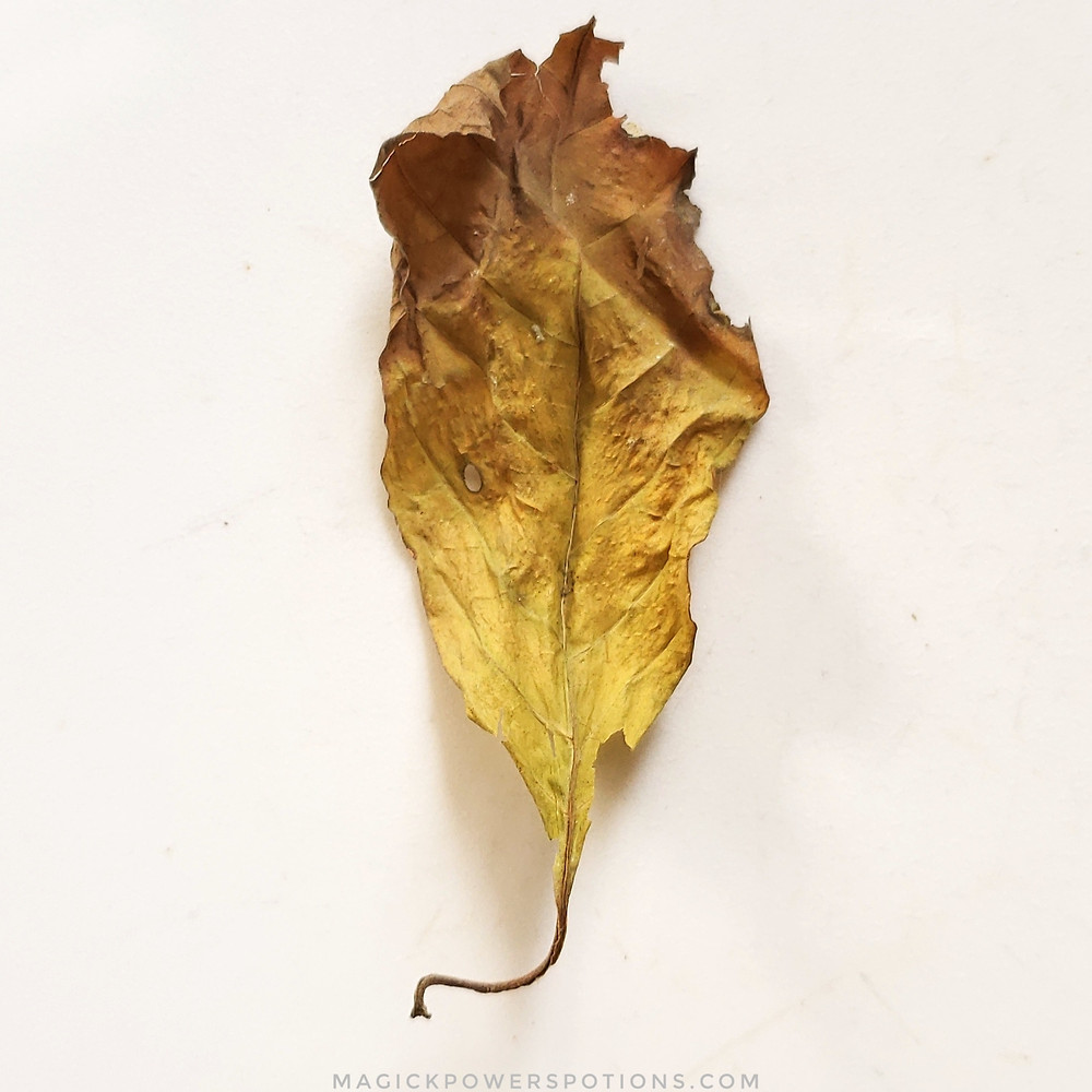 This kratom leaf was yellow on the tree, and it has been dried with minimal oxidation.