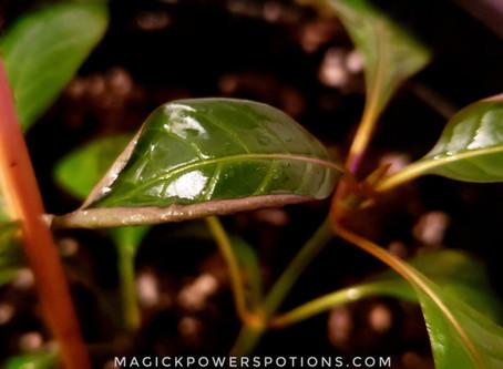 Humidity Curl/Droop in Kratom Seedlings