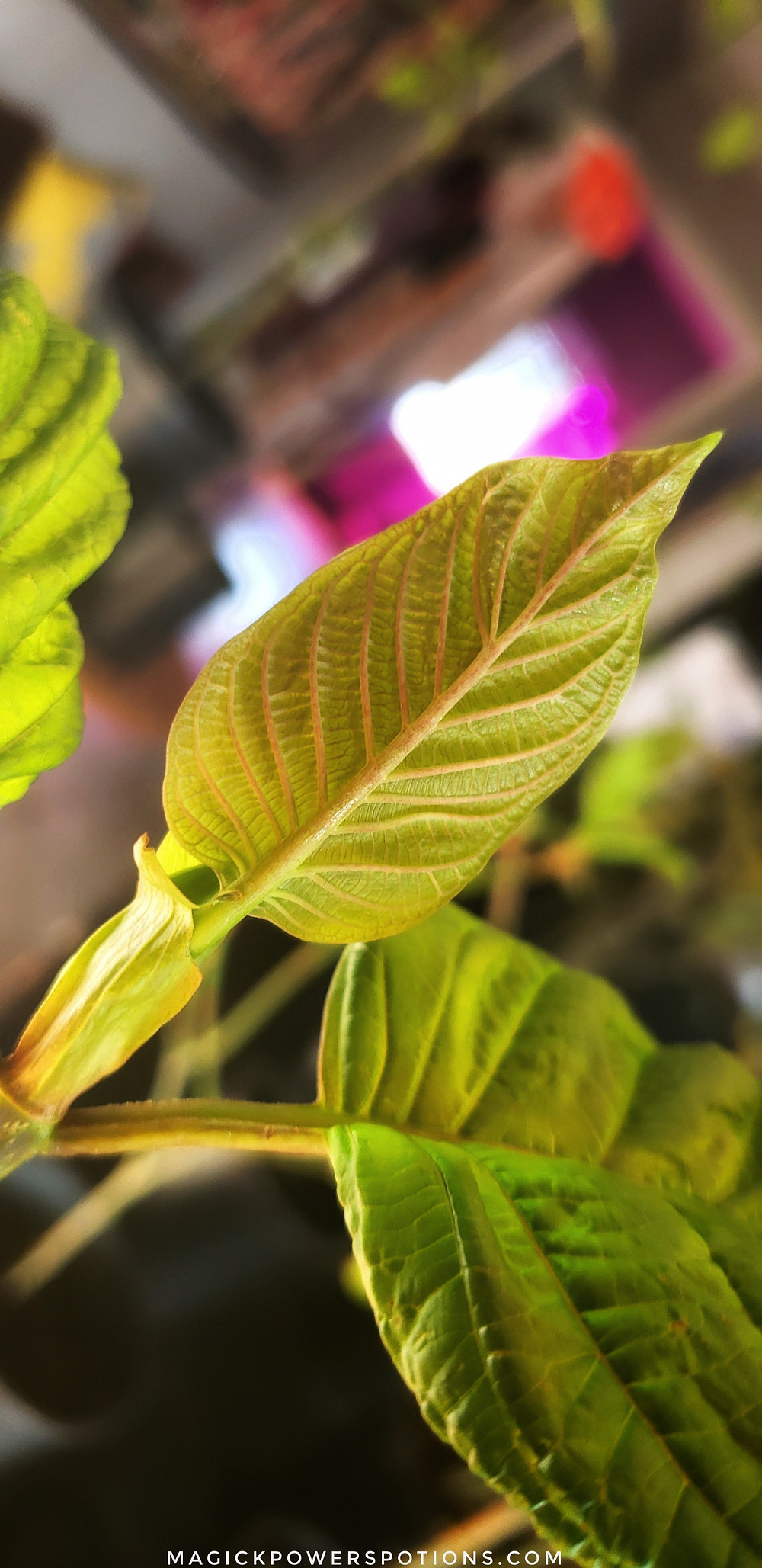 Thick and veinous, the new growth on this young kratom tree is coming in pear yellow with peach veins. It will unfold into a jewel green and the veins will darken.