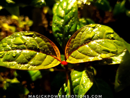 How to Transplant and Acclimate Your Kratom Seedling