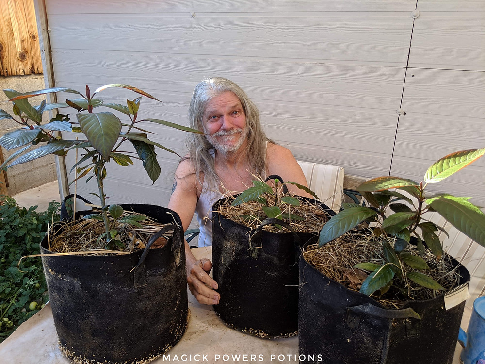 Glenn Bradford with his three seed-sown kratom trees. The smallest (center), only six inches tall and 4 months post germination, is developing a rare seed pod.